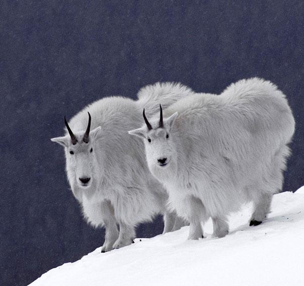 animal-twins-two-similar-lookalikes-100