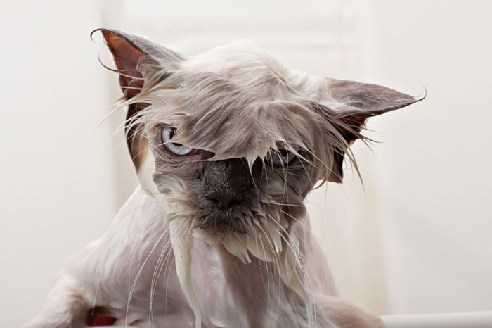 gato-mojado2