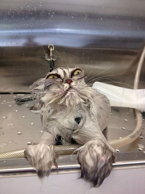 gato-mojado6