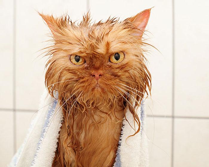 gato-mojado8