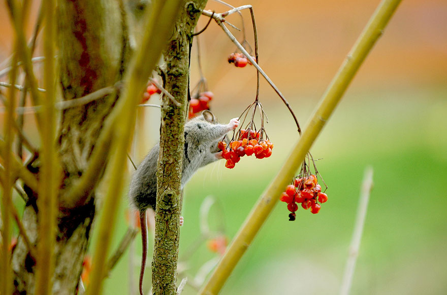 wild-mouse-photography-12