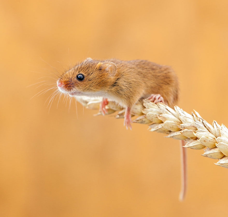 wild-mouse-photography-48