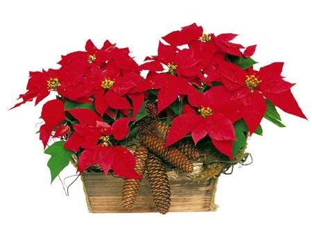 regala-coronas-con-flores-navidentildeas-naturales-y-ayuda_6a43896_3