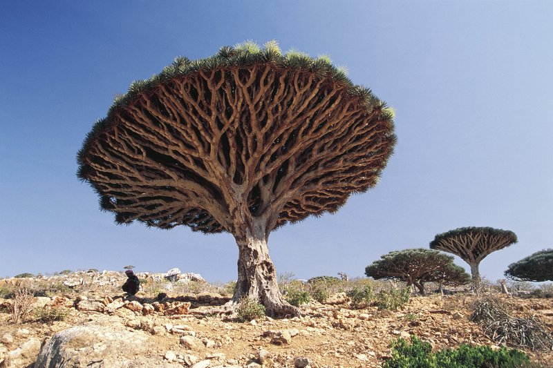 Yemen, Socotra Island, Haggier Mountains, Socotra Dragon Tree (Dracaena cinnabari), endemic vegetation