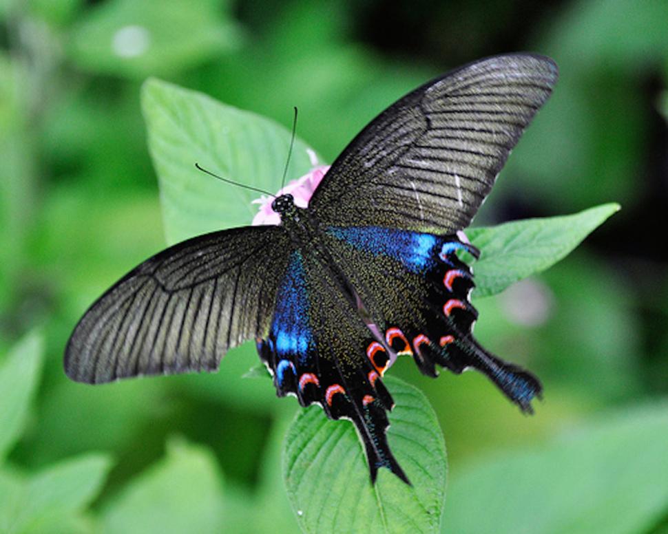 Conoce las 23 mariposas más HERMOSAS del mundo ¡Parecen