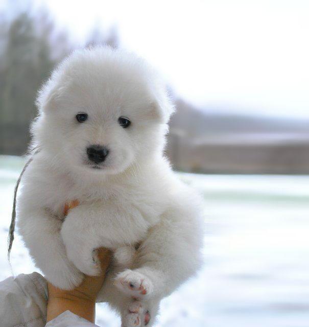 chubby-puppies-bear-cub-look-alikes-14__605 (1)