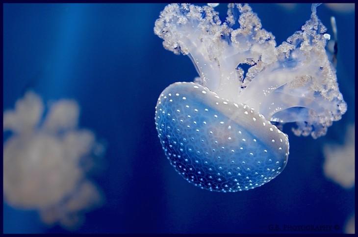 20-animales-marinos-transparentes-10-730x483