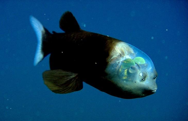 20-animales-marinos-transparentes-2-730x468