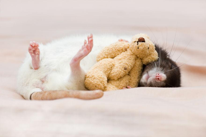 cute-pet-rats-23__880