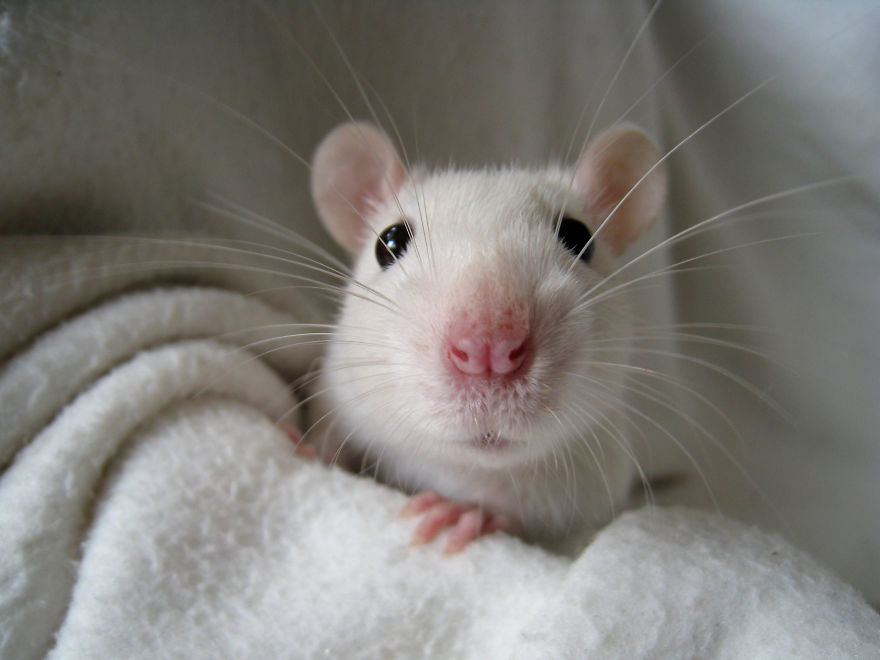 cute-pet-rats-35__880