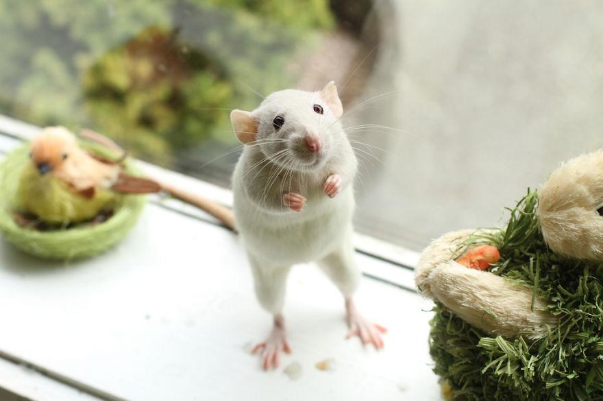 cute-pet-rats-57__880