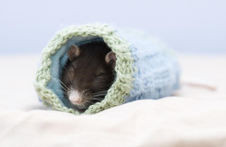 cute-pet-rats-5__880