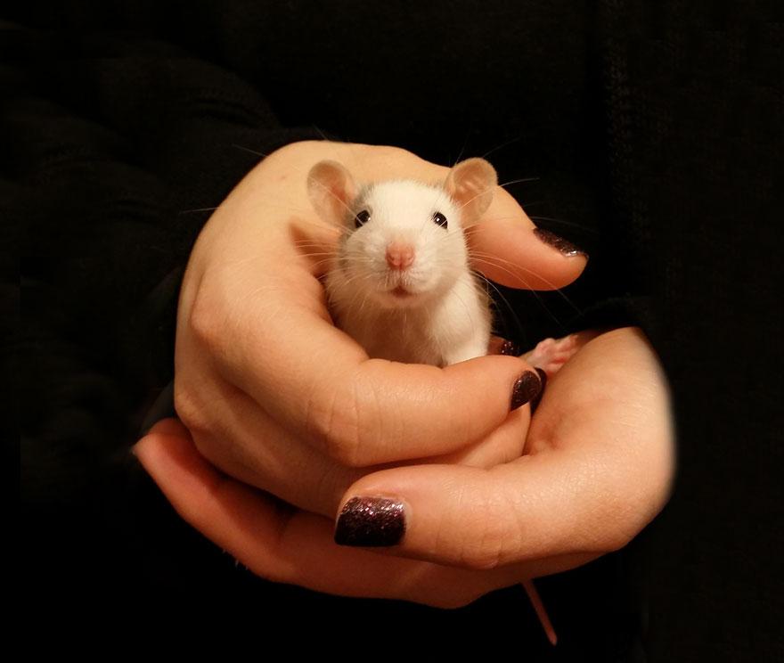 cute-pet-rats-64__880
