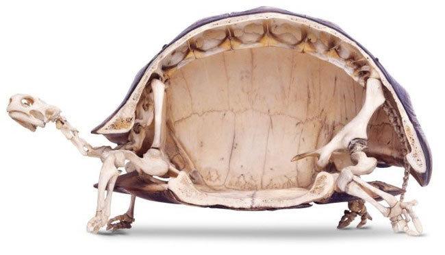 Que esconden las tortugas en sus caparazones