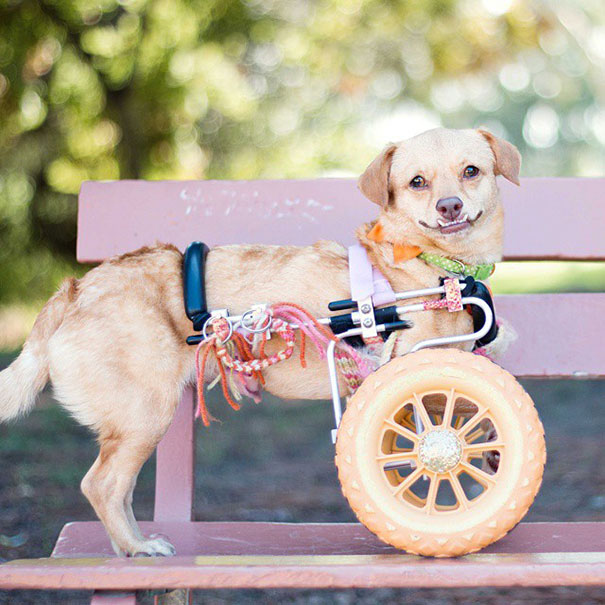 adopted-disabled-dog-daisy-underbite-unite-10 (1)