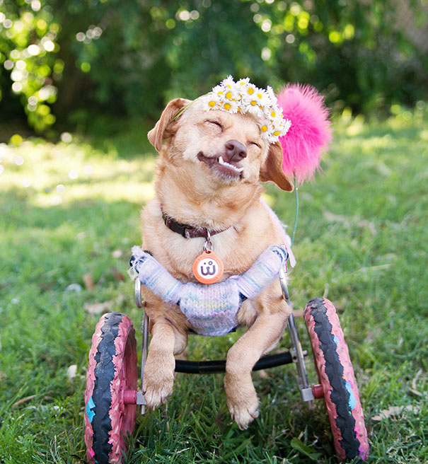 adopted-disabled-dog-daisy-underbite-unite-4