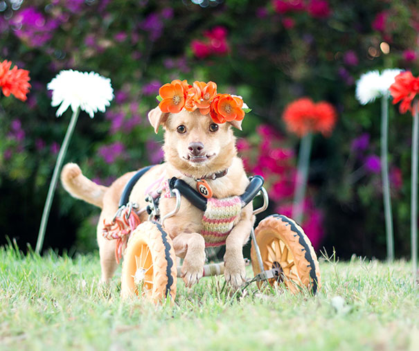 adopted-disabled-dog-daisy-underbite-unite-5