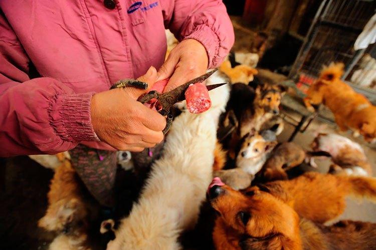 100-perros-salvados-festival-carne-perro-yulin-16