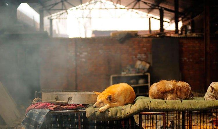 100-perros-salvados-festival-carne-perro-yulin-18