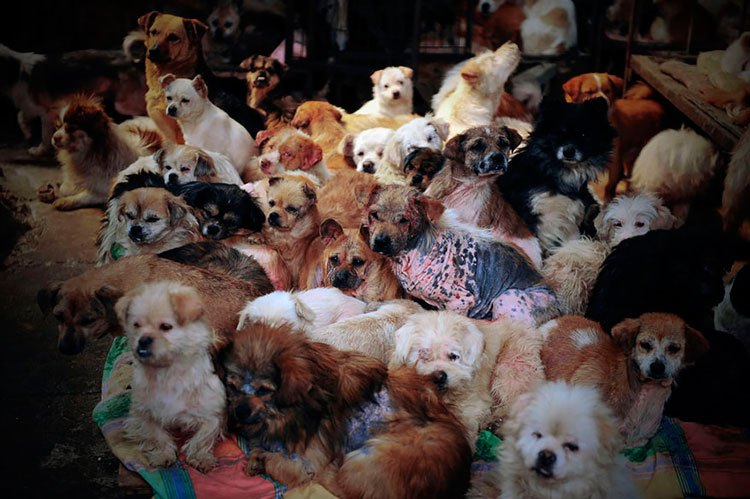 100-perros-salvados-festival-carne-perro-yulin-6