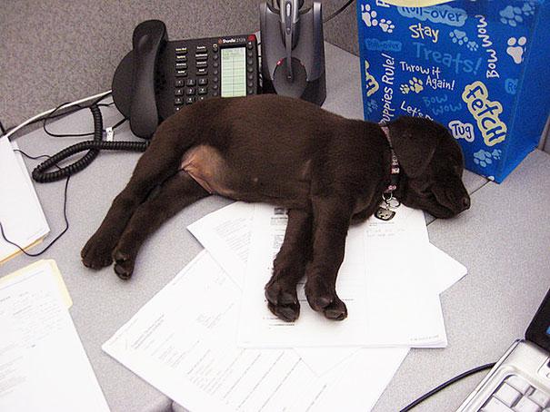 bring-puppy-to-work-5__605