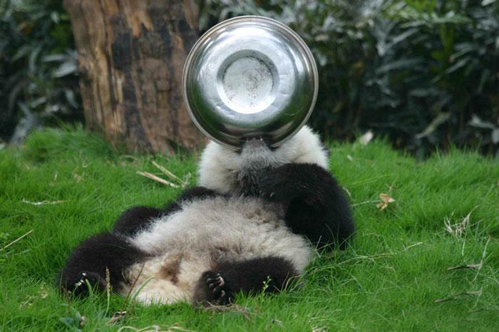 panda-daycare-nursery-chengdu-research-base-breeding-22