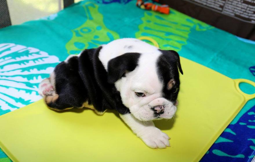 puppy-born-2-legs-half-bulldog-twice-heart-bonsai-1