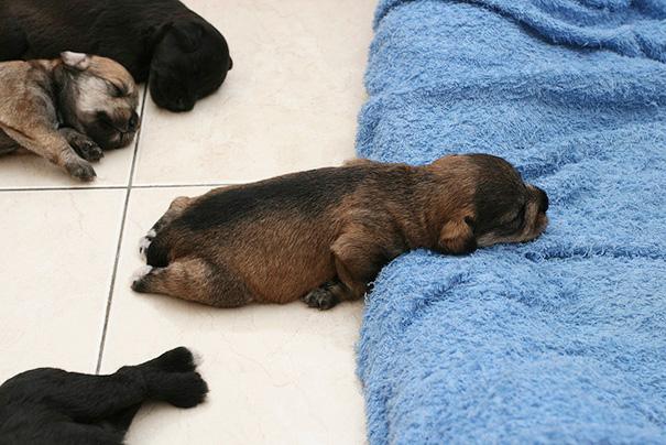 sleeping-puppy-36__605