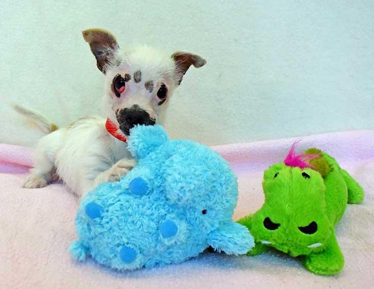 cachorro-perro-cicatrices-adoptado-hssv-christine-doblar-2