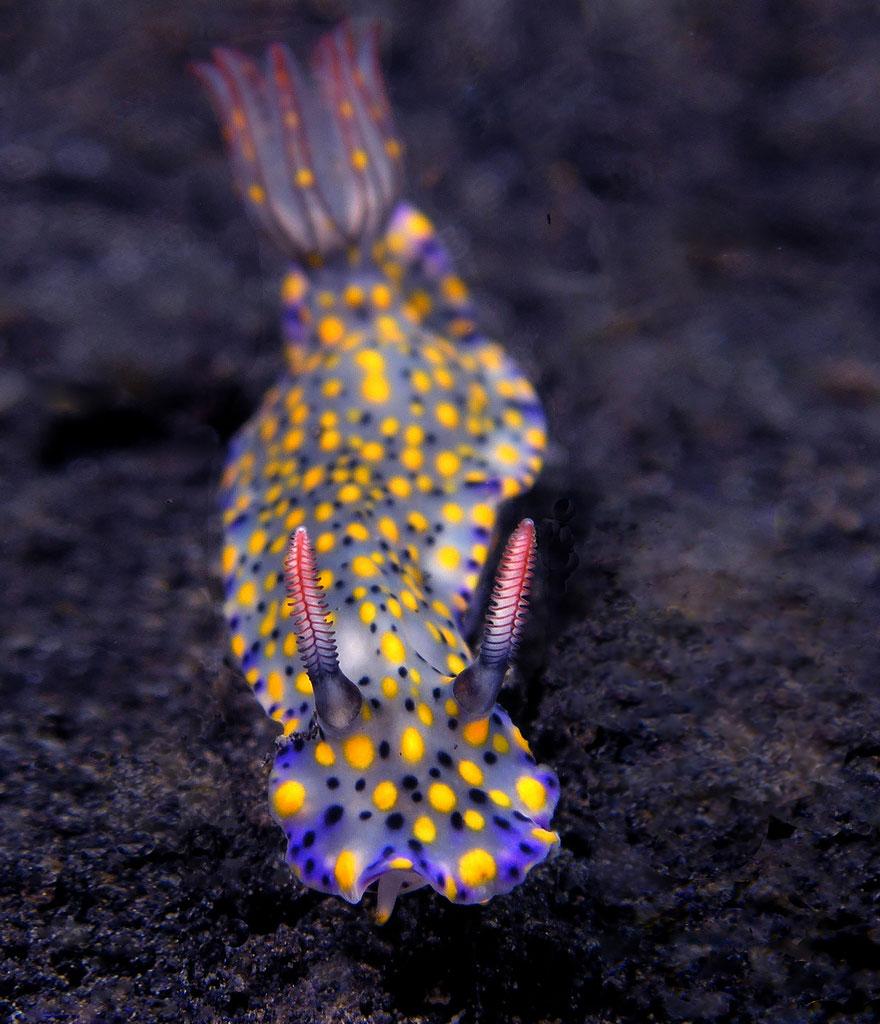 curiosas-babosas-marinas-nudibranquios-16