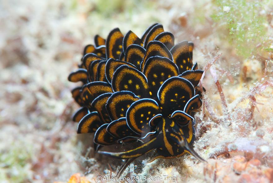 curiosas-babosas-marinas-nudibranquios-4