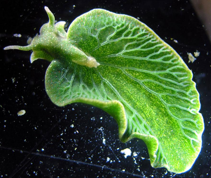 curiosas-babosas-marinas-nudibranquios-6