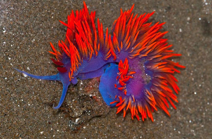 curiosas-babosas-marinas-nudibranquios-7