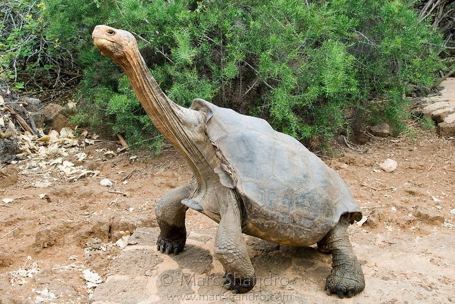 Giant Tortoise Doing Yoga