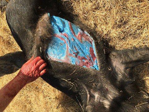 Cazaron Un Cerdo Y Mira Lo Que Encontraron