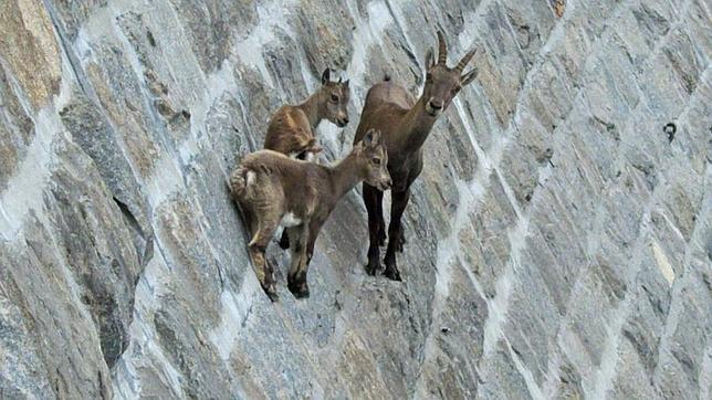 cabras-escaladoras--644x362