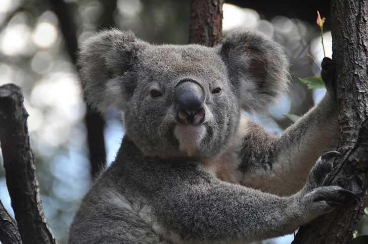 koala-843306_6401