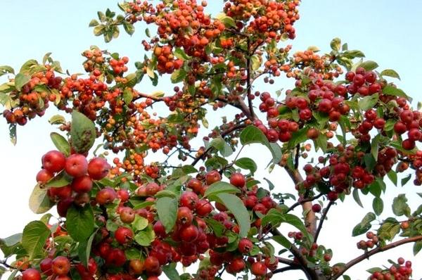 manzano-ornamental-malus
