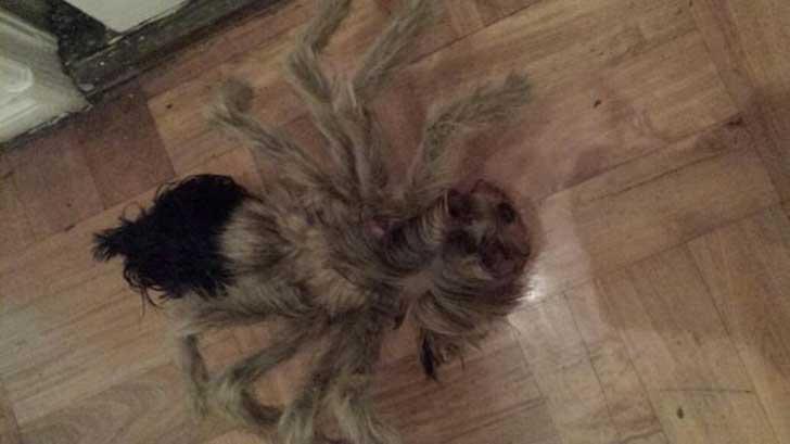perro-arana-desxonocido