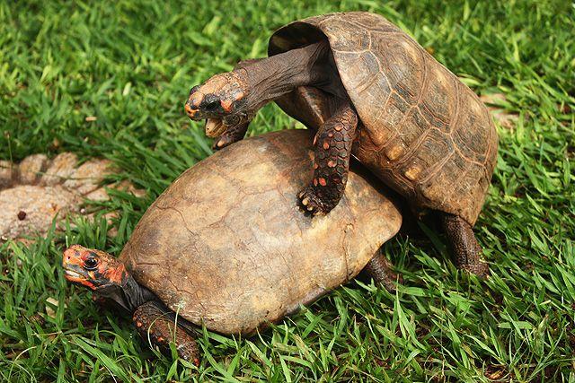 tortugas-sexo
