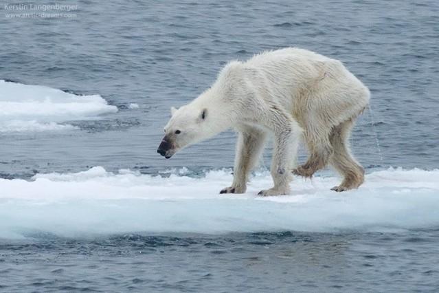 oso-polar-desnutrido-1441208642341