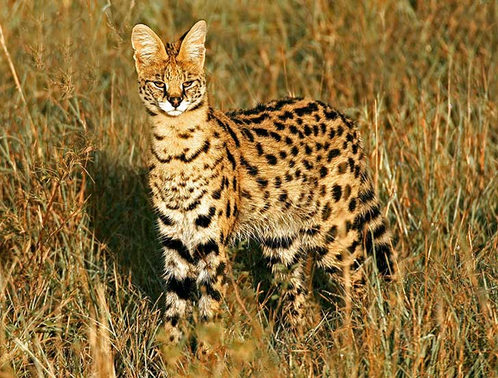 unusual-wild-cats-36__880