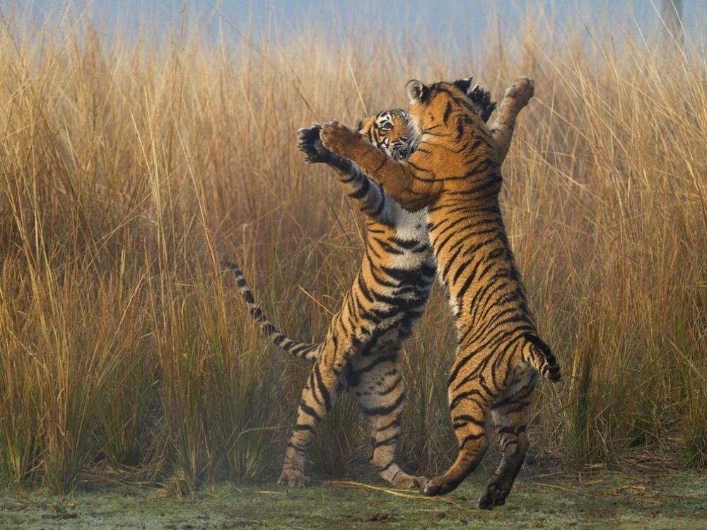 113455-1000-1450827004-14534960-R3L8T8D-1000-tiger-cubs-india_89337_990x742