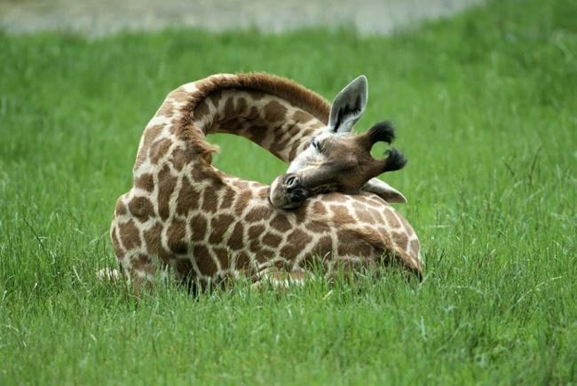 8884-R3L8T8D-650-16275510-R3L8T8D-850-sleeping-giraffes-1__880