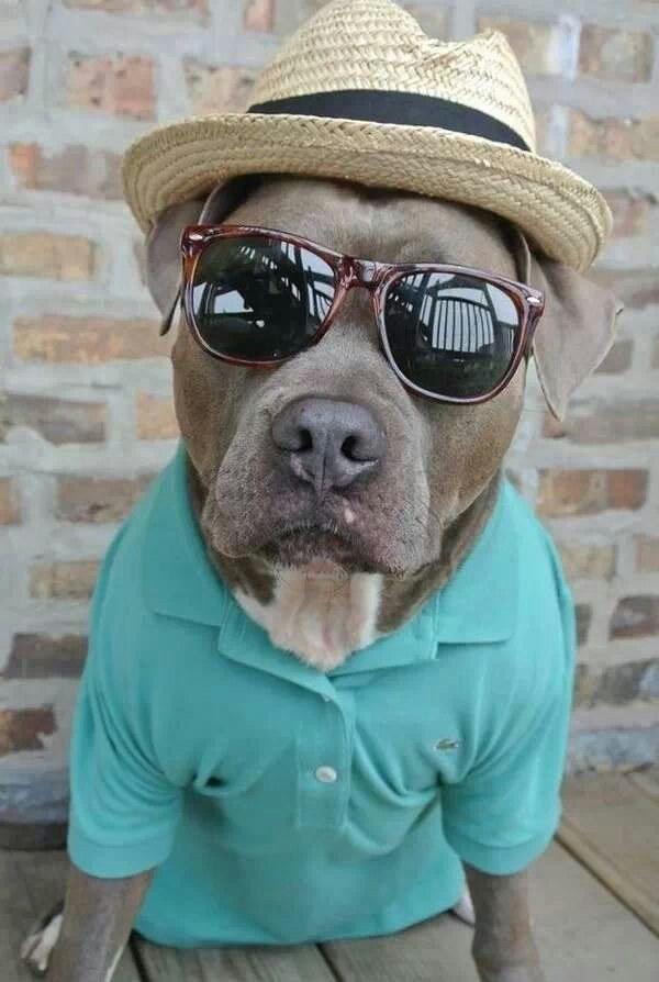 pitbull-terror19