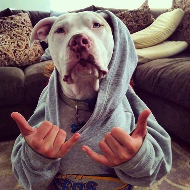 pitbull-terror23