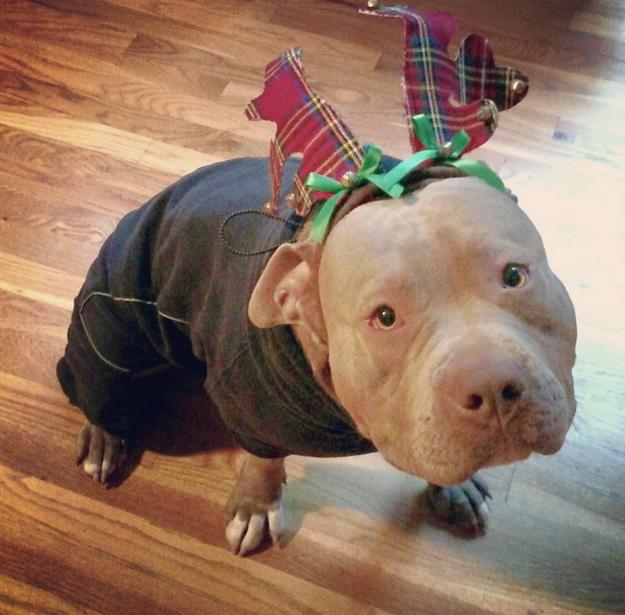 pitbull-terror6