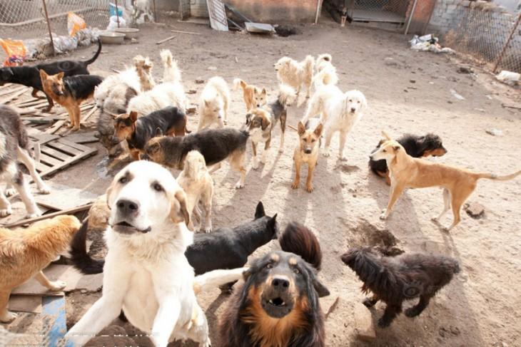 Millonario-Chino-rescata-perros-callejeros-1-730x487