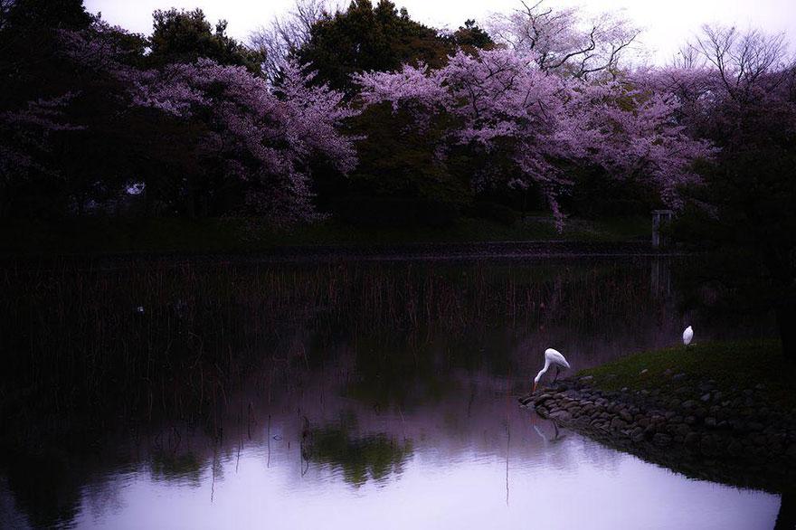 primavera-flores-cerezo-sakura-japon-national-geographic-11