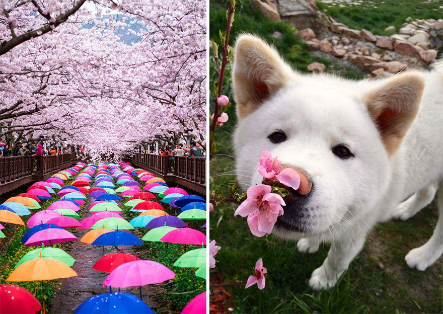 primavera-flores-cerezo-sakura-japon-national-geographic-14